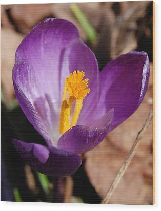 Purple Crocus Wood Print by David Lane
