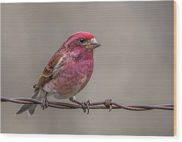 Wood Print featuring the photograph Purple Finch On Barbwire by Paul Freidlund
