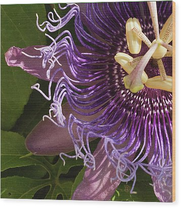 Wood Print featuring the photograph Purple Fine View Passion Flower by Michael Flood