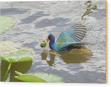 Purple Gallinule Wood Print by Phil Stone