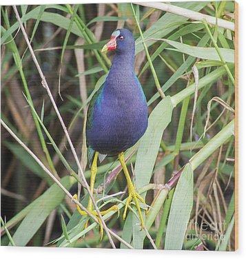 Purple Gallinule Wood Print by Robert Frederick