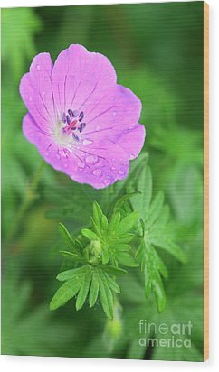 Purple Geranium Flower Wood Print by Neil Overy