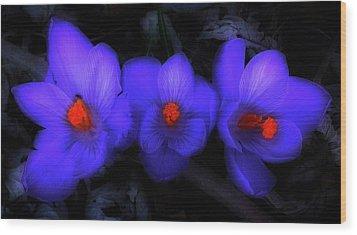Beautiful Blue Purple Spring Crocus Blooms Wood Print by Shelley Neff