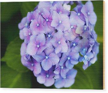 Purple Hydrangea Wood Print by Gina Cormier
