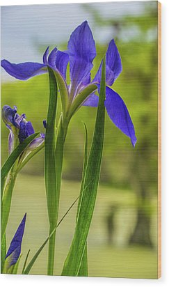 Wood Print featuring the photograph Purple Iris by Steven Ainsworth