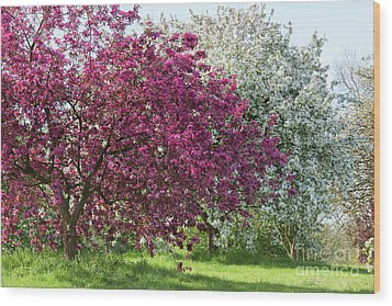 Wood Print featuring the photograph Purple Leaved Crab Apple Blossom In Spring by Tim Gainey