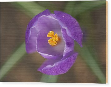 Purple Passion Wood Print by Patricia M Shanahan