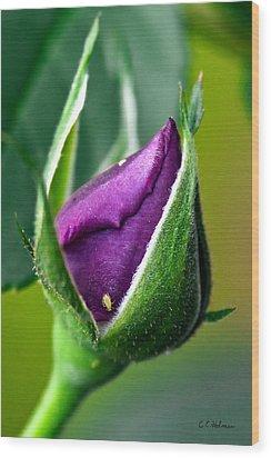 Purple Rose Bud Wood Print by Christopher Holmes