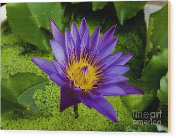 Purple Water Lily Wood Print by Ray Laskowitz - Printscapes