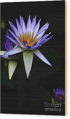 Purple Waterlily Wood Print by Avalon Fine Art Photography