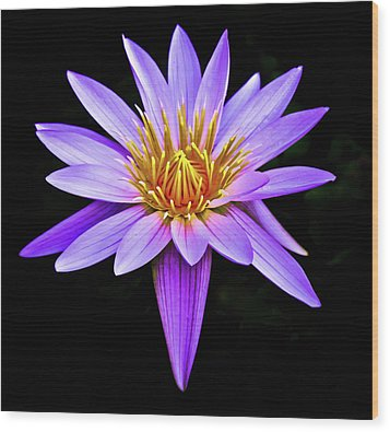 Purple Waterlily With Golden Heart Wood Print by Venetia Featherstone-Witty