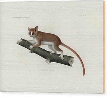 Pygmy Mouse Lemur Wood Print by Hugo Troschel