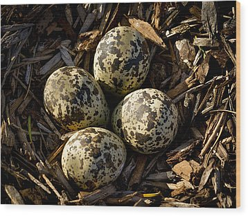 Quartet Of Killdeer Eggs By Jean Noren Wood Print by Jean Noren