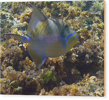 Queen Triggerfish Wood Print