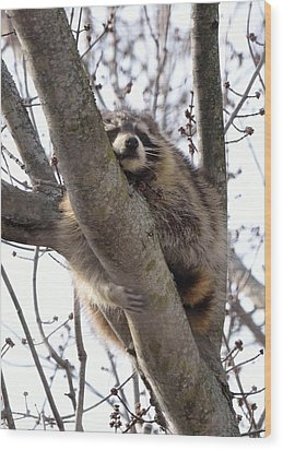 Afternoon Nap-raccoon Up A Tree  Wood Print
