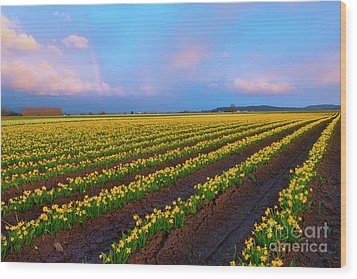 Wood Print featuring the photograph Rainbows, Daffodils And Sunset by Mike Dawson