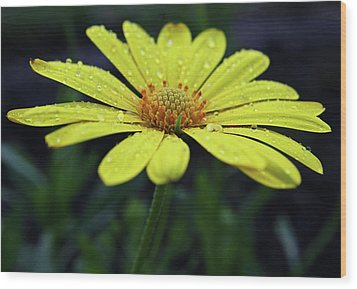 Wood Print featuring the photograph Raindrops On Daisy by Judy Vincent