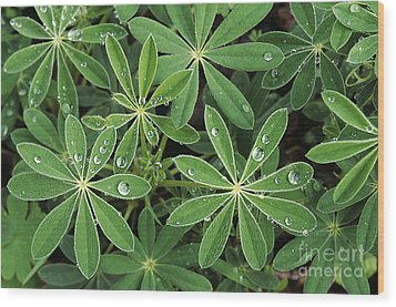 Raindrops On Lupine Wood Print by Greg Vaughn - Printscapes