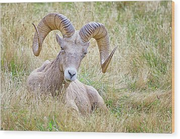 Ram In Field Wood Print