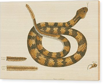 Rattlesnake Wood Print by Mark Catesby