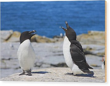 Razorbills Calling On Island Wood Print by John Burk