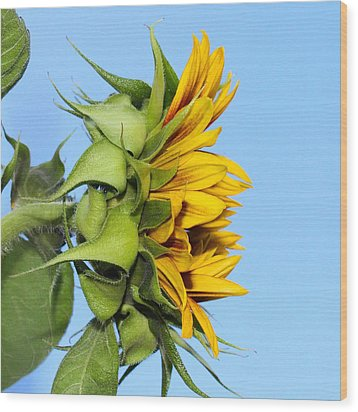 Reaching Sunflower Wood Print