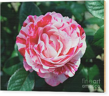 Red And Pink Floral Candy Rose Garden 490 Wood Print