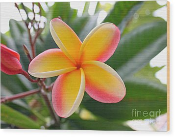 Red And Yellow Plumeria Wood Print