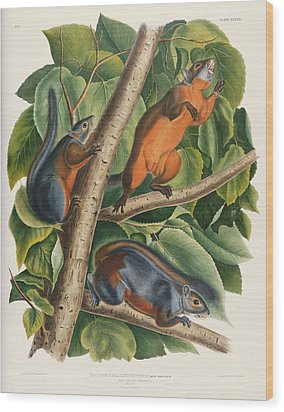 Red Bellied Squirrel  Wood Print by John James Audubon