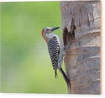 Red-bellied Woodpecker Wood Print by Guillermo Armenteros, Dominican Republic.