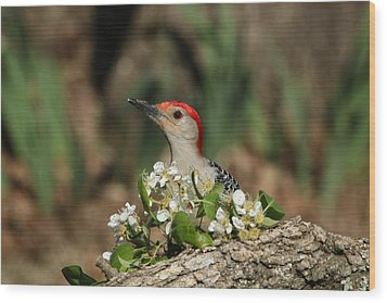 Red-bellied Woodpecker In Spring Wood Print by Sheila Brown