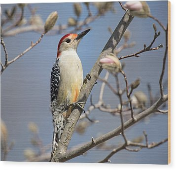 Red-bellied Woodpecker On Magnolia Wood Print by Angel Cher