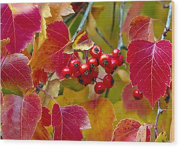 Red Berries Fall Colors Wood Print by James Steele