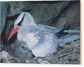 Red-billed Tropicbirds Cuddling  Wood Print