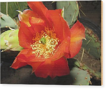 Red Bloom 1 - Prickly Pear Cactus Wood Print