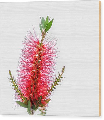 Red Bottle Brush Against An Overcast Sky Wood Print by Debra Martz