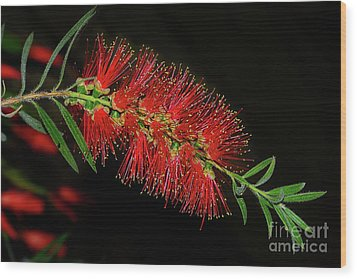 Wood Print featuring the photograph Red Bottlebrush By Kaye Menner by Kaye Menner