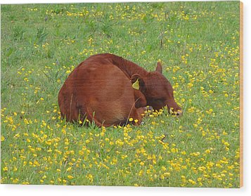 Red Calf In The Buttercup Meadow Wood Print