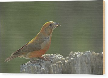 Red Crossbill Wood Print by Constance Puttkemery