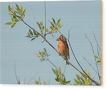 Red Crossbill Wood Print
