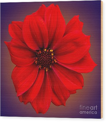 Wood Print featuring the photograph Red Dahlia-bishop-of-llandaff by Brian Roscorla