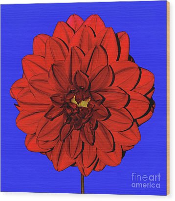 Red Dahlia On Blue By Kaye Menner Wood Print by Kaye Menner