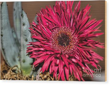 Wood Print featuring the photograph Red Daisy And The Cactus by Diana Mary Sharpton