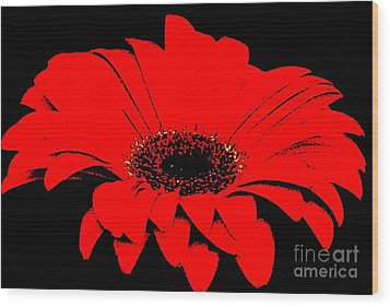 Red Daisy On Black Background Wood Print by Marsha Heiken