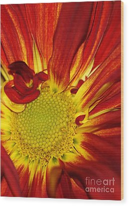 Red Daisy Wood Print by Sabrina L Ryan