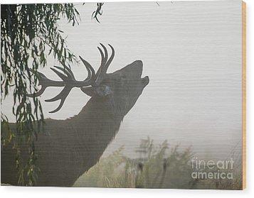 Red Deer Stag - Cervus Elaphus - Bellowing Or Roaring On A Misty M Wood Print