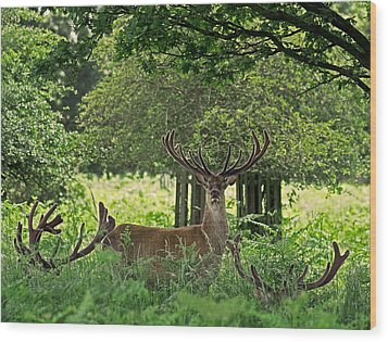 Wood Print featuring the photograph Red Deer Stag by Rona Black