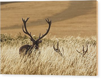 Red Deer Stags At Sunset Wood Print