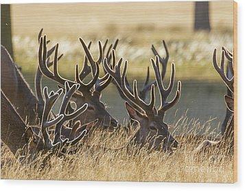 Red Deer Stags In Velvet Wood Print