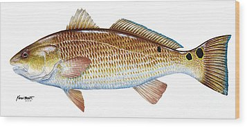 Red Drum  Redfish Wood Print